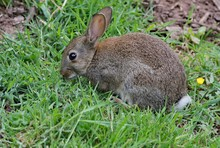 European Wild Rabbit
