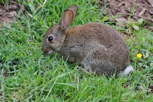 Obraz European Wild Rabbit - fototapety do salonu