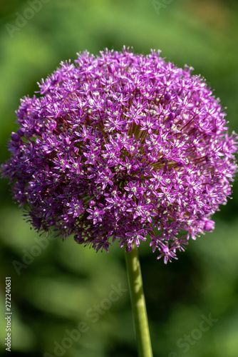 Fototapeta Czosnek - kwiaty  blooming-purple-flower-ball-of-a-allium-giganteum-giant-onion-plant