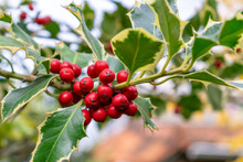 Holly (Ilex Aquifolium) Branch With Bright Red Berries, Christmas Plant Commonly Mistaken As Mistletoe