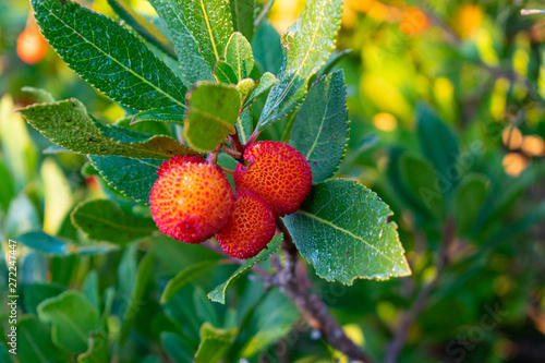 Arbutus unedo, the strawberry tree close up fruits, in Mountain Hymettus (Ymitto Wallpaper Mural