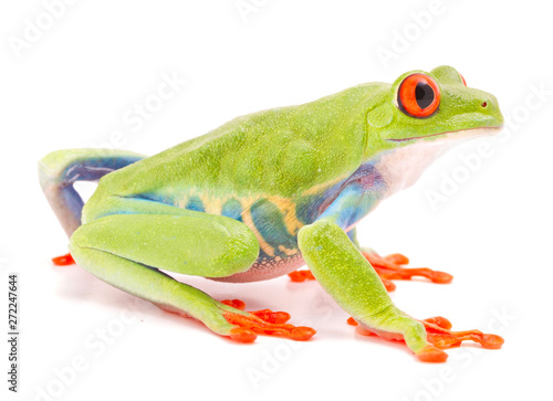 Foto op Aluminium Kikker Red eyed monkey tree frog, Agalychnis callydrias. A tropical rain forest animal with vibrant eye isolated on a white background..