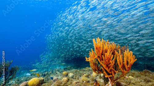 Foto auf Gartenposter Riff Bait ball in coral reef of Caribbean Sea around Curacao at dive site Playa Grandi