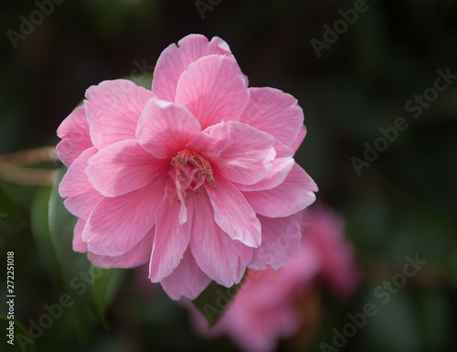 Garden Poster Pink Close up of camelia flowers on a bush selective focus