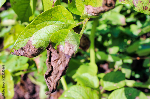 Phytophthora on the leaves of potatoes close-up. Canvas Print