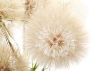 Large Fluffy Dandelion.