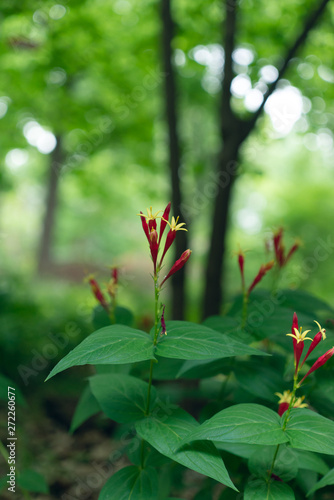 Red spigelia flowers in the spring. Spigelia marilandica.