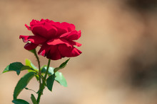 Isolated Red Rose In Garden