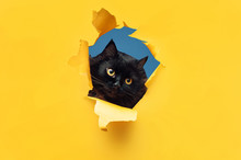 Funny Black Cat Looks Through ...