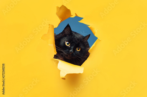 Papiers peints Chat Funny black cat looks through ripped hole in yellow paper. Peekaboo. Naughty pets and mischievous domestic animals. Copy space. Blue background.
