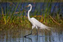 Great White Egret (Ardea Alba), Everglades National Park, Florida