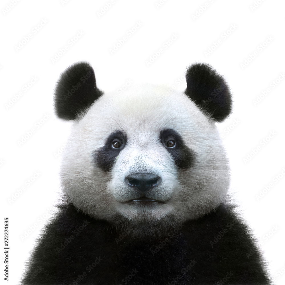 Fototapeta panda bear face isolated on white background