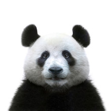 Panda Bear Face Isolated On Wh...