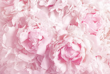 Beautiful Floral Background From Pink Peonies. Tender Flowers Petals In Vintage Toned.