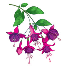 Branch Of Outline Purple Fuchsia Flower Bunch, Bud And Ornate Green Leaf Isolated On White Background.