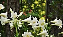 White Lily (Lilium Longiflorum) Blooming On The Garden Background, Spring In GA USA.