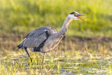 Grey Heron Hunting In Wetland Open Beak