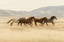 Wild Horses Running Across The...