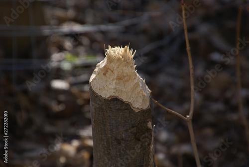 Valokuva  abgenagter Baum vom Biber 2019246