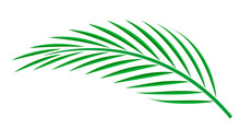 Coconut Palm Leaf Isolated On White Background, Coconut Stem, Clip Art Of Plam Tree Leaf Green, Cycad Leaf Illustration Simple, Part Of Coconut Palm Leaf For Graphic Pattern