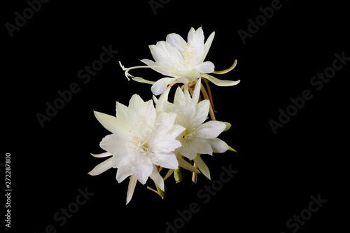Deurstickers Waterlelies Epiphyllum anguliger Black background
