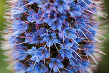 Closeup Photo Purple Pride Of Madeira Flower With Stamens