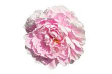 Paeonia Lactiflora 'Sarah Bern...