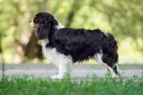 Slika na platnu Beautiful cavalier king charles spaniel in summer park