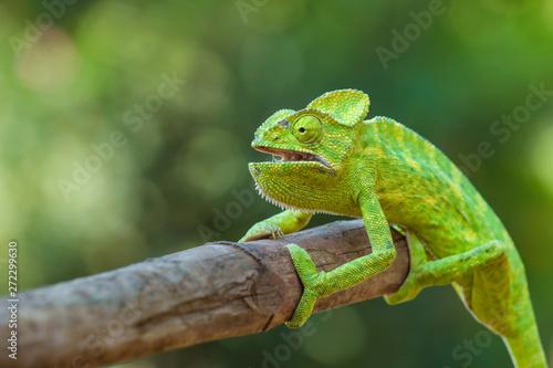 Tuinposter Kameleon Green chameleon india