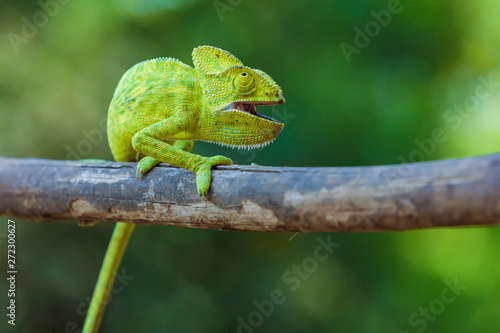 Spoed Foto op Canvas Kameleon Green chameleon india