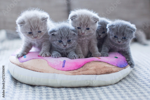 cute british little kitties