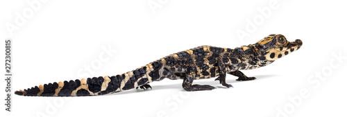 Poster Crocodile Dwarf crocodile against white background
