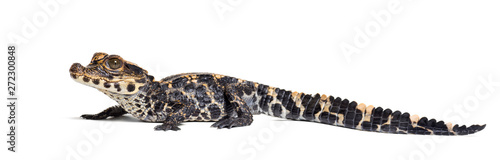 Canvastavla Dwarf crocodile against white background