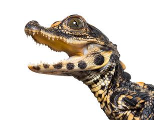 Dwarf crocodile against whi...