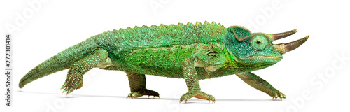 Photo  Side view of a Jackson's horned chameleon walking