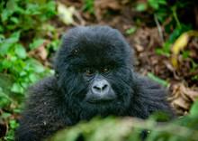 Baby Gorilla  In Volcanoes National Park, Rwanda
