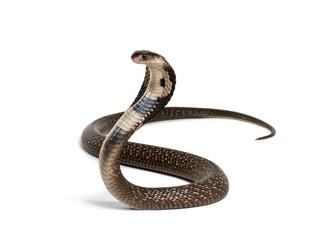 King cobra, Ophiophagus hannah, zmija otrovnica protiv bijele boje