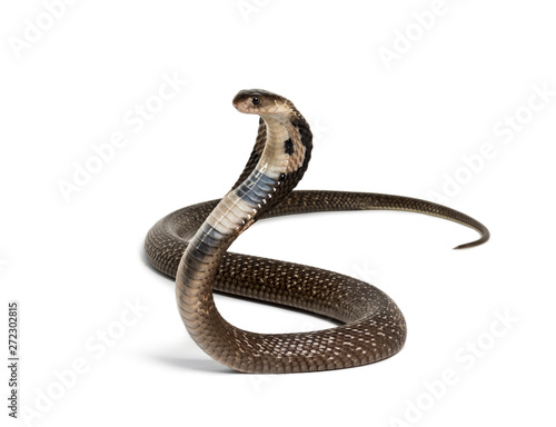 King cobra, Ophiophagus hannah, venomous snake against white Canvas Print