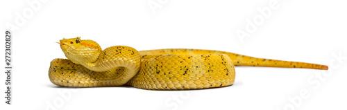 Fotografie, Obraz Eyelash viper, pit viper in front of white