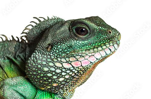 Chinese water dragon , Physignathus cocincinus Tableau sur Toile