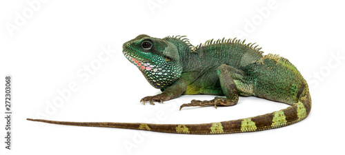 Obraz na plátně Chinese water dragon , Physignathus cocincinus