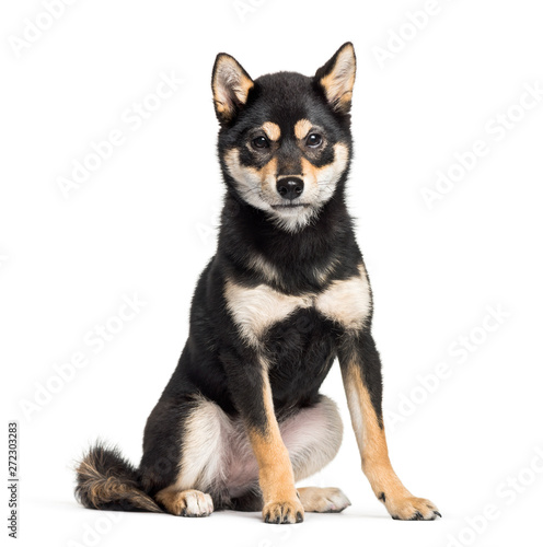fototapeta na lodówkę Young Shiba Inu sitting against white background