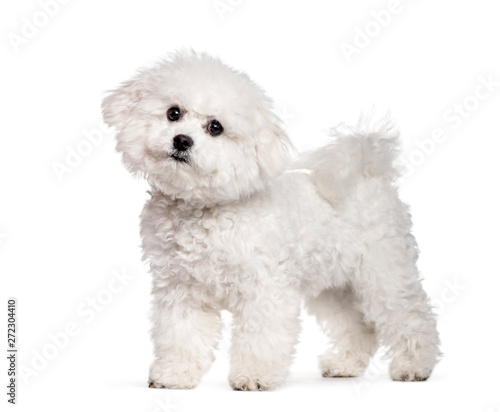 Bichon Frise standing against white background Wallpaper Mural