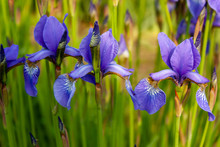 Natural Background Of Blue-violet Flowers And Stalks Of Siberian Iris.