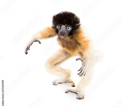 4 months old baby Crowned Sifaka standing against white Wall mural