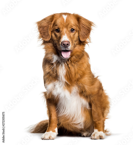 Photo sur Toile Chien Panting Toller, 2 months, sitting against white background