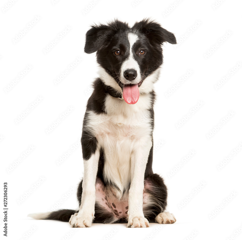 Fototapety, obrazy: Panting 5 months old puppy border collie dog sitting against white background