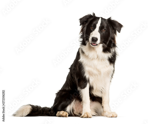 fototapeta na lodówkę border collie dog sitting against white background