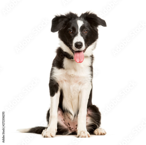 Fotografia  Panting 5 months old puppy border collie dog sitting against white background