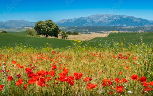 Obraz Scenic landscape with poppies near Alhama de Granada, Andalusia, Spain. - fototapety do salonu